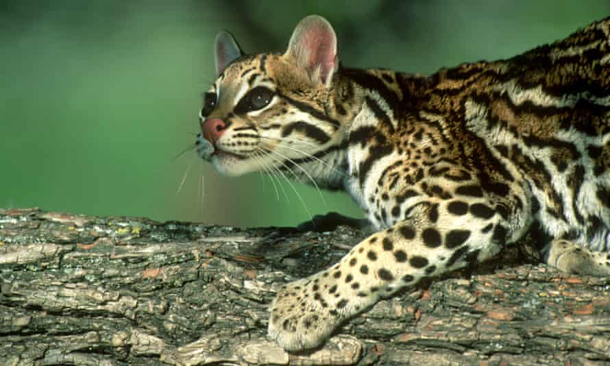 The ocelot: one of the species cut from the river if Trump's wall is erected.