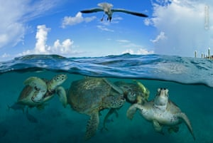 A bird above turtles in the water