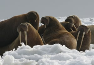 Walrus cows and yearlings rest on ice in Alaska.
