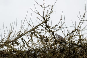 Cuckoo calling for a mate from a tree top on Burley Moor, Yorkshire, UK