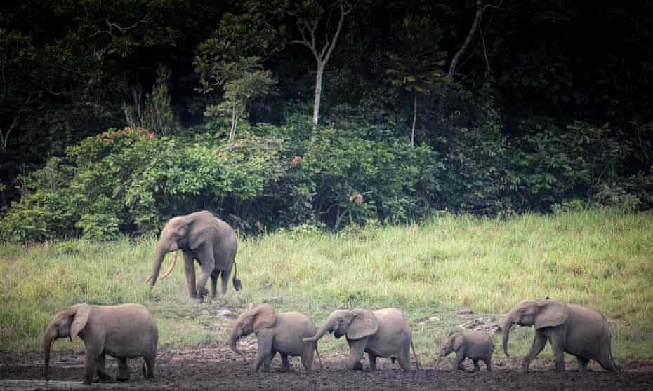 By one measure, the services of forest elephants are said to be worth $1.75m each