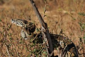 An African rock python in Kenya