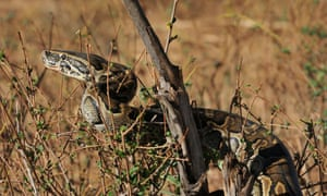 The African rock python used to grow up to 16ft in length but now reaches on average just 10ft.