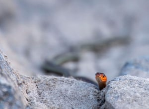 As dusk falls, a cautious red-sided garter snake slithers to its lair under a rock after an evening of hunting in the shallows of the Umpqua River near Elkton, rural western Oregon