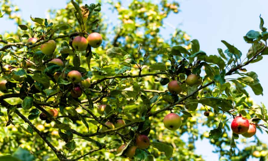 France, Normandy, apple trees in a countryside garden