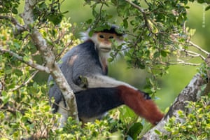 Treetop douc langur in a tree in son tra nature reserve