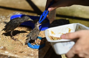 A volunteer from the Goupil association feeds young birds with tweezers at the Wildlife hospital in Laroque