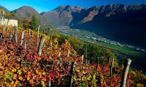 A vineyard in the raethian Alps in autumn near Morbegno