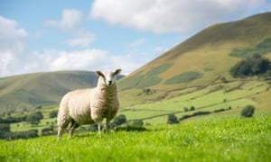 A single sheep stands in a green meadow in the Edale valley in Derbyshire on a sunny summer's day