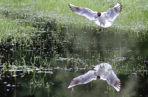 A seagull in reflection
