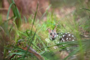 An eastern quoll takes its first steps into the wild during a translocation in Jervis Bay in northern New South Wales