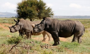 Black rhinos, one of the world's endangered animals, in the north west province of South Africa.