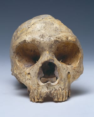 Gibraltar 1, a skull from an adult female Neanderthal, is on display at the Natural History Museum.