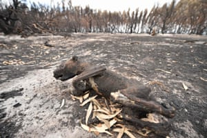 The corpse of a koala lies in a burnt-out forest on Kangaroo Island following bushfires.