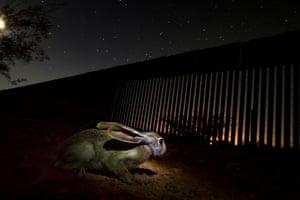 A wild hare next to the border wall near San Pedro river in Sonora, Mexico