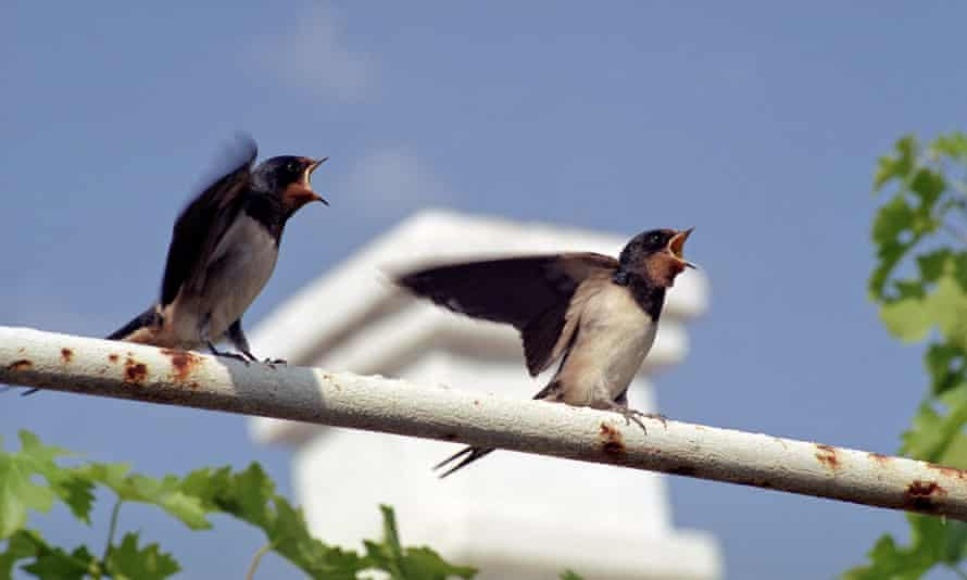 Birds such as these swallow are already squeezed out of many urban areas.