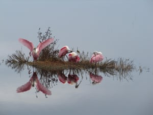 Roseate spoonbills reflected in the calm waters of the Merritt Island National Wildlife Refuge in Florida, US