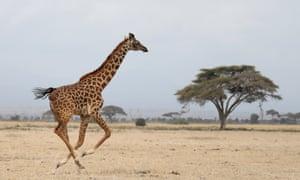 A giraffe in Amboseli national park, Kenya