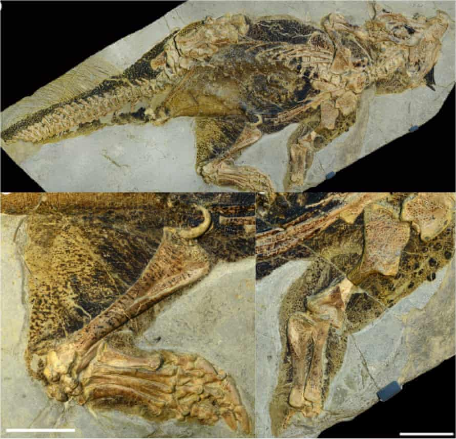 Senckenberg Psittacosaur, showing exquisite preservation of skin pigments