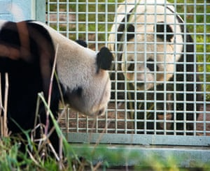 Several attempts have been made at helping the pandas to breed. They live in separate enclosures until the very brief breeding window arrives