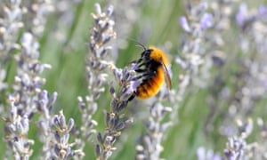 A Patagonian bumblebee (Bombus dahlbomii) on lavender flowers. In Chile, the insects are under threat from the import of European bumblebees for fruit tree pollination