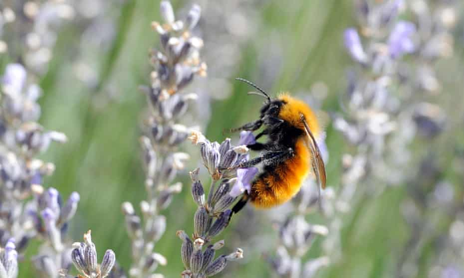 The Patagonian Bumblebee on lavender flowersNumbers of the South American bee are dwindling as bees imported from Europe for pollination bring parasites.