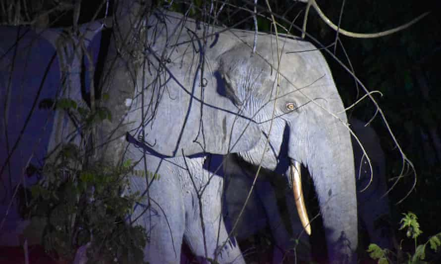 Forest elephant from Gabon