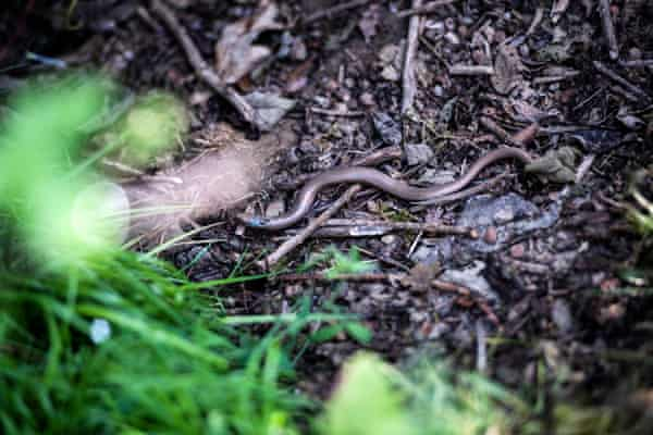 A slow worm.