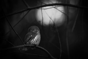 Requiem for an owl, Mats Andersson, SwedenWinner, black and white categoryEvery day in early spring, Andersson walked in the forest near his home in Bashult, southern Sweden, enjoying the company of a pair of Eurasian pygmy owls – until the night he found one of them lying dead on the forest floor. 'The owl's resting posture reflected my sadness for its lost companion,' he said. Preferring to work in black and white – 'it conveys the feeling better' – he captured the melancholy of the moment, framing the solitary owl within the bare branches, lit by the first light of dawn.