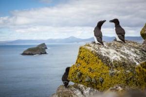 Razorbills on the Shiants Isles, Scotland.