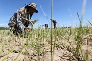 A farmer inspects his dried rice field in Praek Sriracha, Chainat province, Thailand.