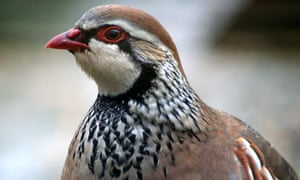 Red-legged partridges are one of the non-native species released by the shooting industry