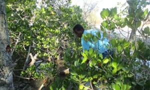 Mangrove restoration work in Kivalo