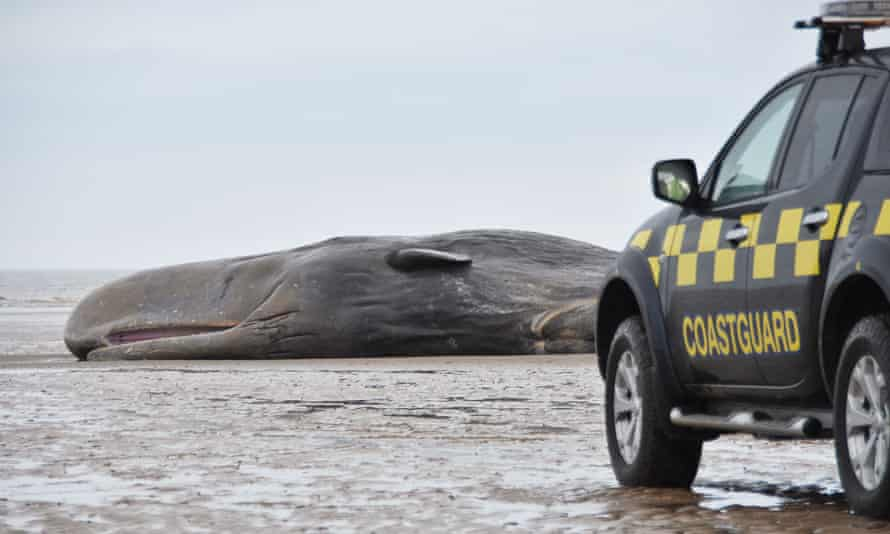 Sperm whale washed up on Hunstanton beach in Norfolk