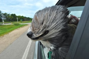 WindblownErika Hetzel caught her dog enjoying the wind in Wisconsin, United States