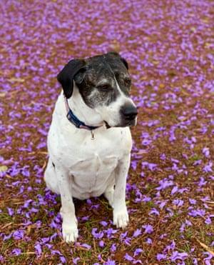A rescue dog sits on  jacaranda flowers in Ashgrove, Brisbane