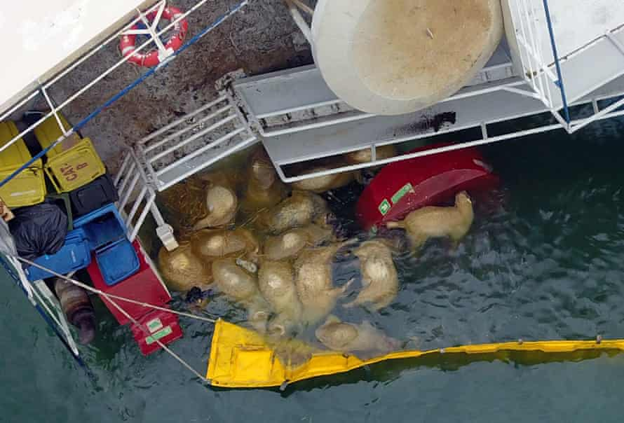 Sheep corpses around the Queen Hind vessel.