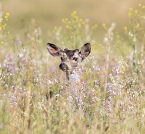 Black-tailed deer peeks through spring flowers, Coyote Valley, California, US