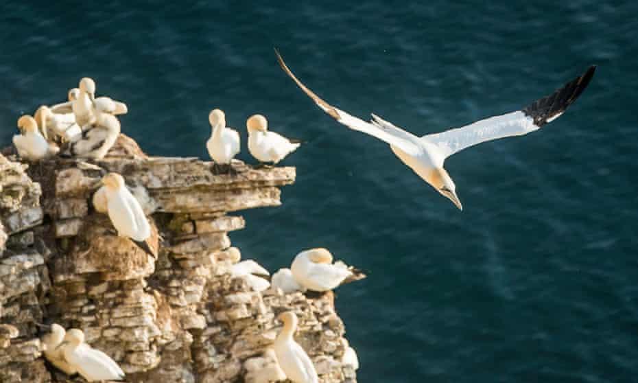 Gannets at RSPB Bempton Cliffs.