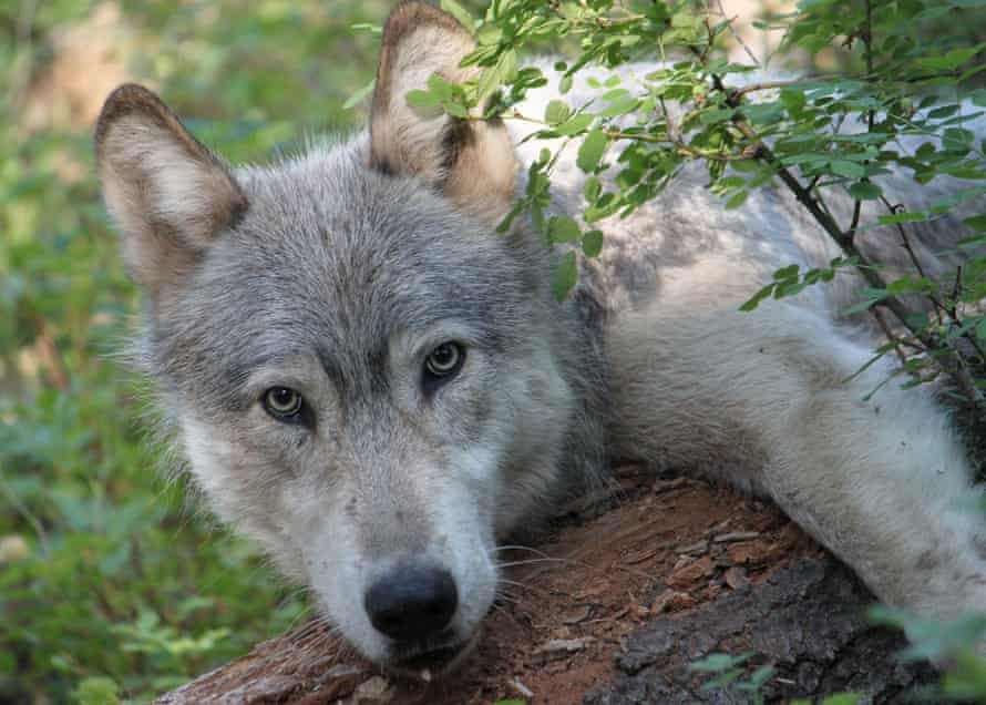 A male wolf from a pack known as the Wenaha pack near Oregon's Wenaha river.