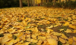 Fallen Ginkgo leaves in Wenbo Park, Zhengzhou, Henan Province, China - 10 Nov 2016