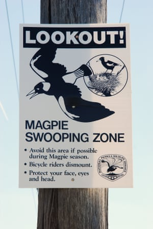 Australian Magpie warning sign