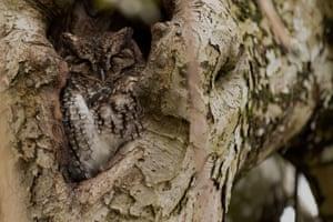 A western screech owl roosting in an old apple tree in Portland, US