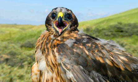 Twelve breeding pairs of hen harriers in England produced 47 chicks in 2019.