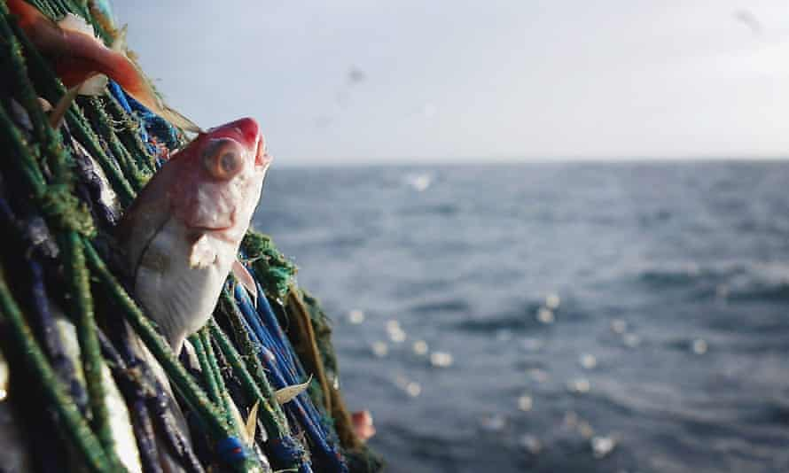 A haddock caught in the nets of a trawler, some 70 miles off the north coast of Scotland