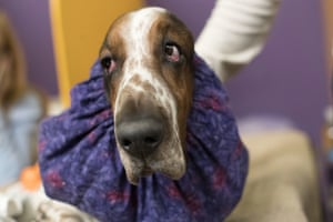 Davis, a basset hound, waits in the staging area