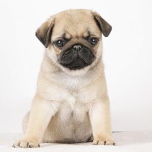 A squash-faced pug