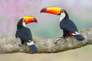 Toco toucan, Poconé, Brazil