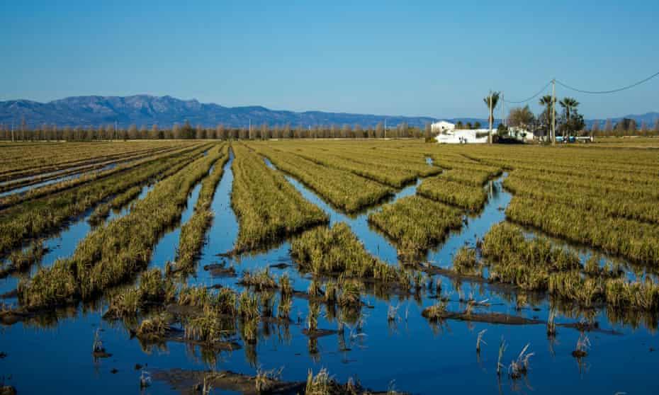 a rice field in the in Ebro delta near Tortosa.