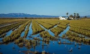 Rice growing in a field full of water, Tortosa, Ebro Delta